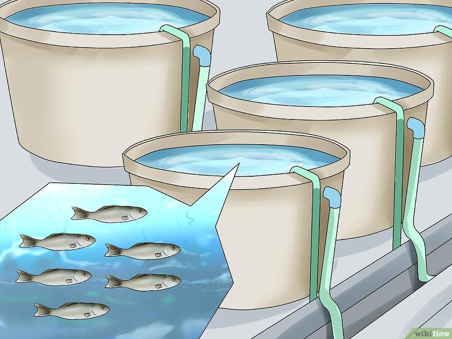 Como empezar un criadero de peces vanguardia acuaristica for Peces para criar en estanques